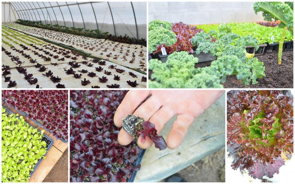 phoebes-groffs-lettuce