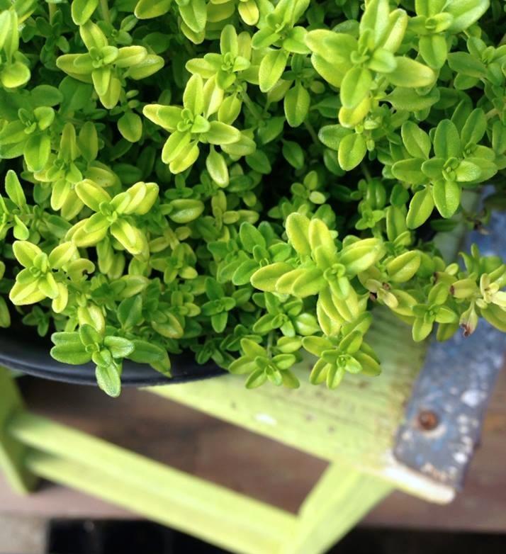 10 must have kitchen garden herbs